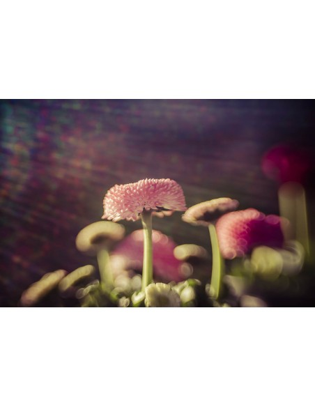 Lensbaby Composer Pro II with Sweet 50 Optic SLR Musta, Hopea Lensbaby LBCP250N - 6